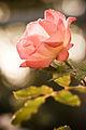 80px-Sunset_Rose_(2866181595)